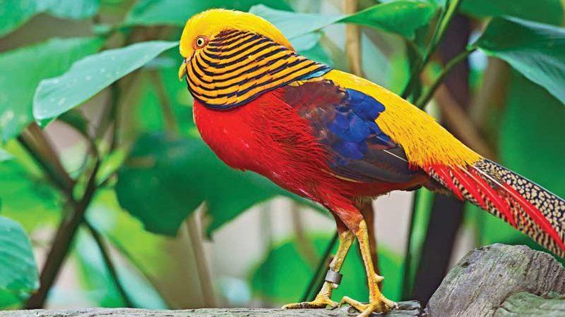 cropped Golden Pheasent pheasant adalah Jual Ayam Hias HP : 08564 77 23 888 | BERKUALITAS DAN TERPERCAYA pheasant adalah Pheasant adalah Jenis Ayam Hias yang Memiliki Keunikan Tersendiri