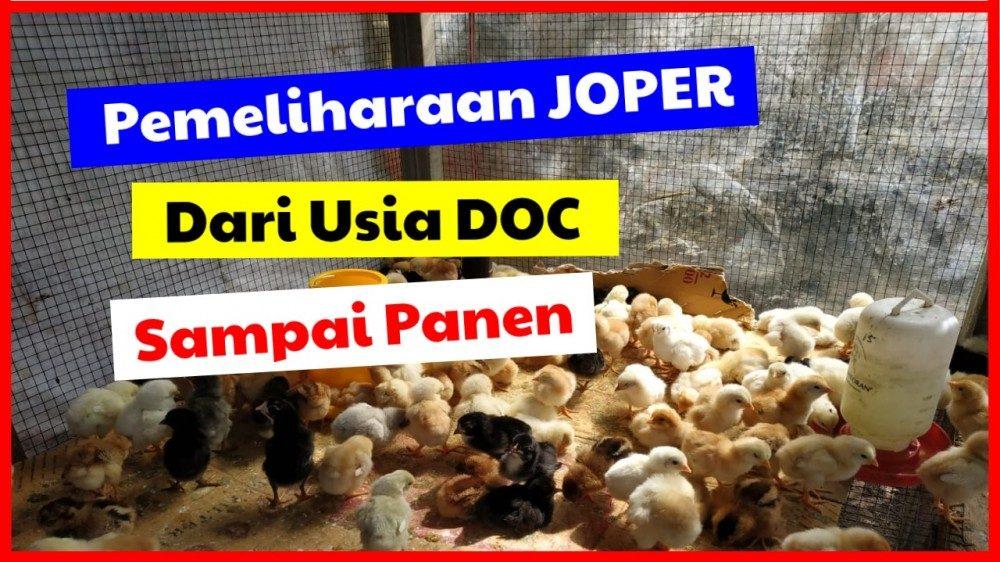 cropped Pemeliharaan DOC JOPER dari usia DOC sampai panen Pemeliharaan Ayam Kampung Super Jual Ayam Hias HP : 08564 77 23 888 | BERKUALITAS DAN TERPERCAYA Pemeliharaan Ayam Kampung Super Pemeliharaan Ayam Kampung Super dari DOC Sampai Masa Panen