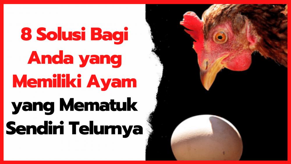 8 Solusi Bagi Anda yang Memiliki Ayam yang Mematuk Sendiri Telurnya