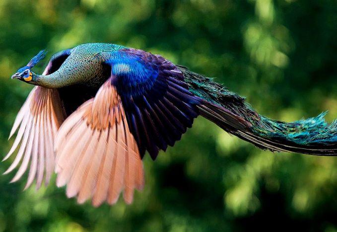 Beautiful Flying Peacock Peacock Flying Jual Ayam Hias HP : 08564 77 23 888 | BERKUALITAS DAN TERPERCAYA Peacock Flying Peacock Flying : Find The Facts Of The Peacock Flying, The Most Gorgeous Bird In The World!