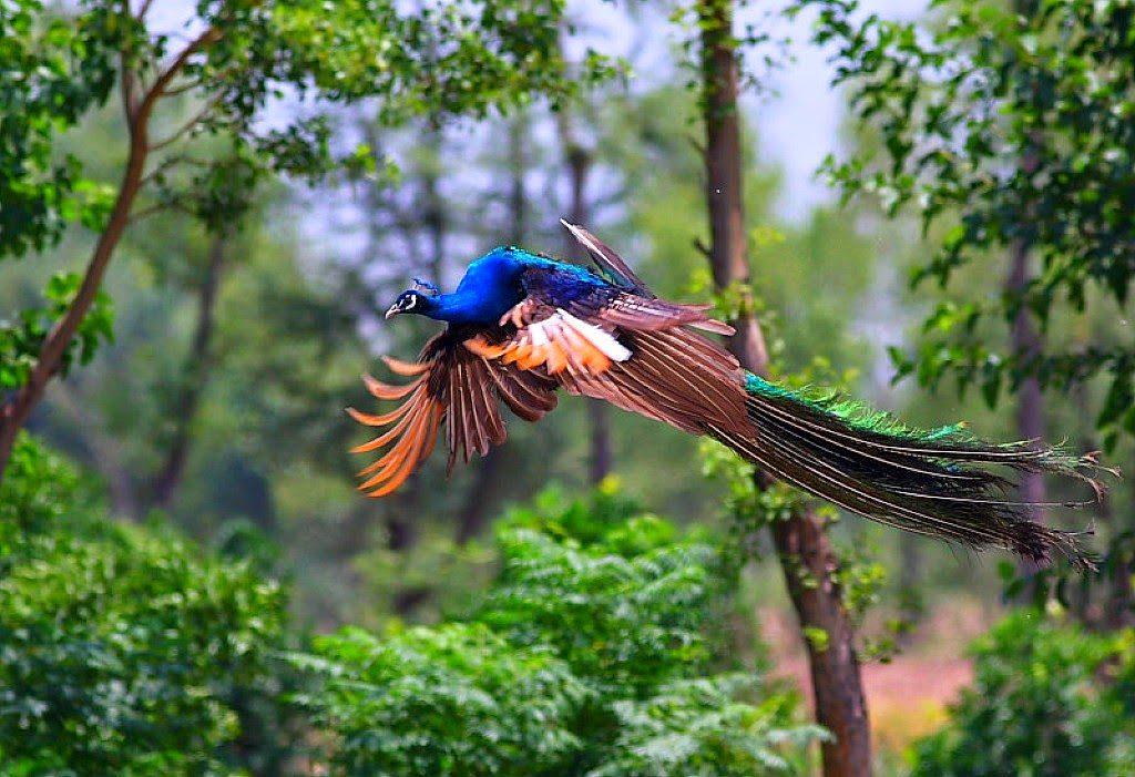 Burung merak memiliki kemampuan terbang | image 2