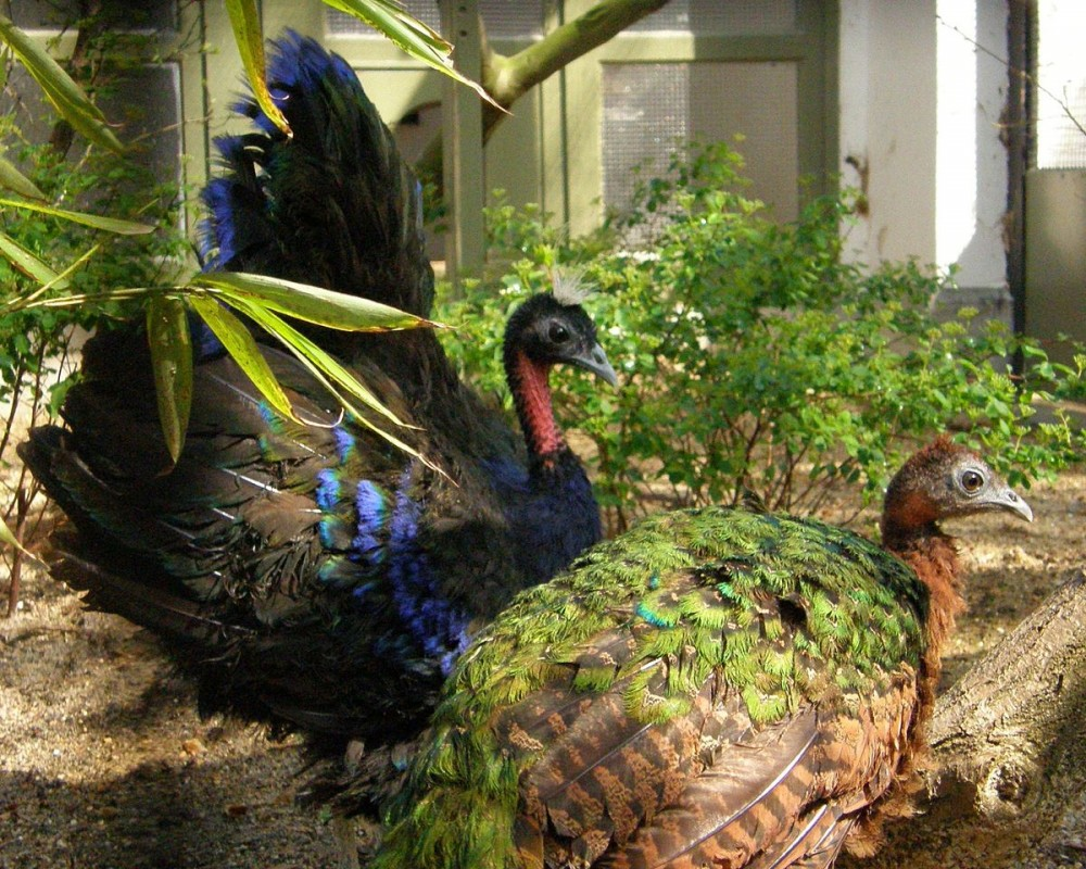 Congo Peafowl is indeed not as famous as Blue, White, and Green Peafowl, but they still have their own uniqueness. | A pair of Congo peafowl