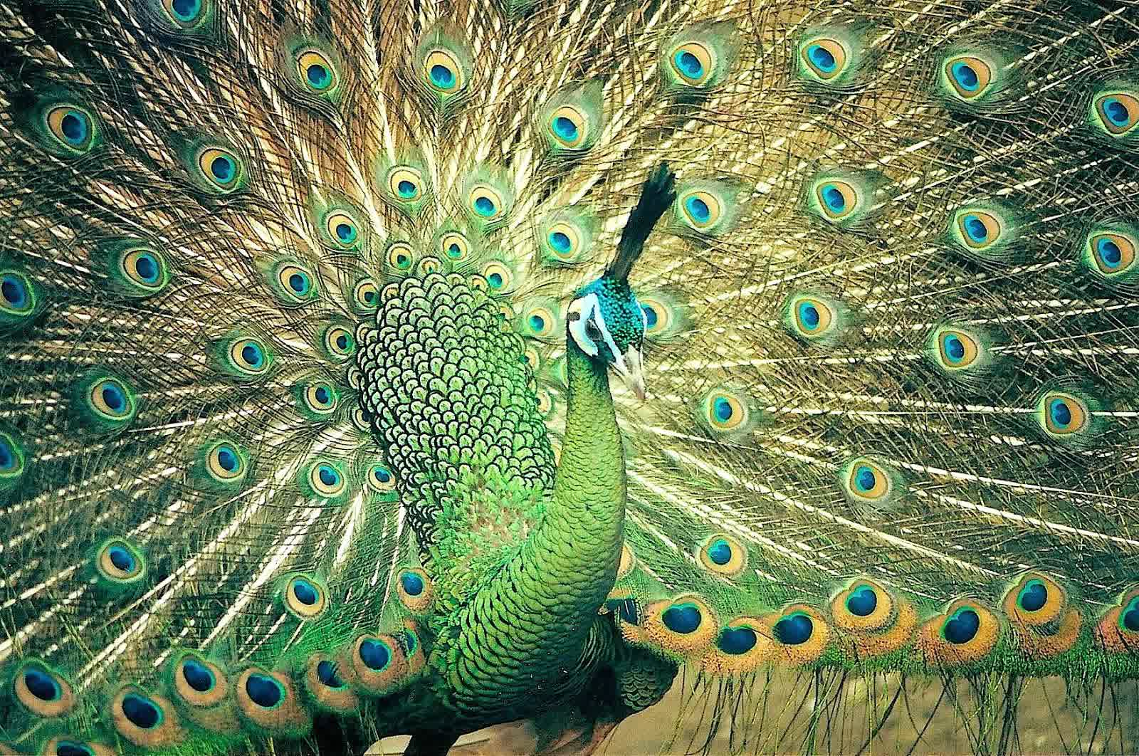 Peacock For Sale Is Waiting For You Jual Ayam Hias