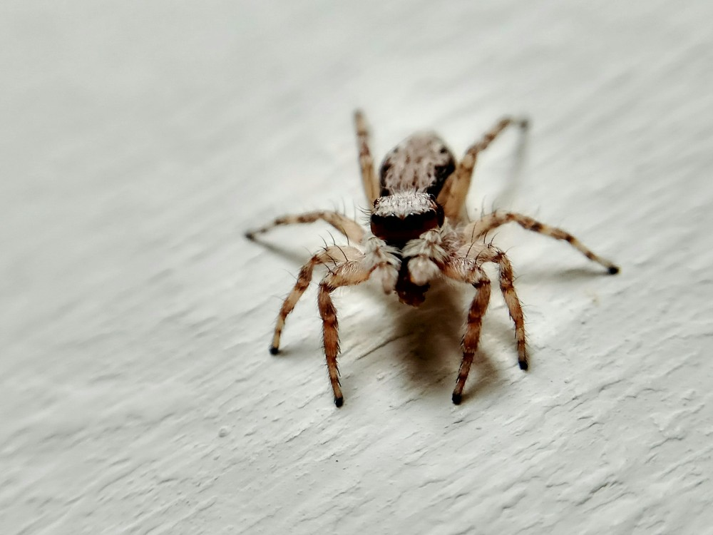 Laba-laba Kecil Untuk Pakan Merak