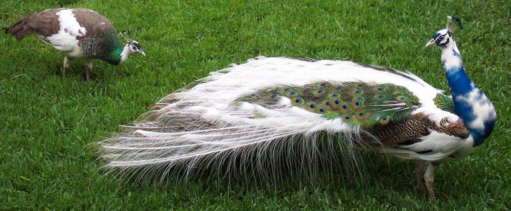 Pied peafowls