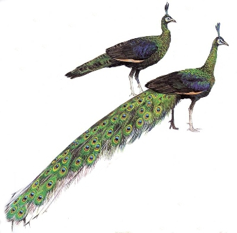 The different size of male and female peacocks