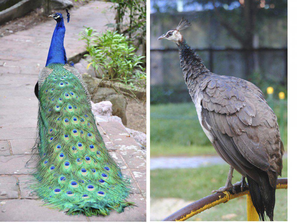 The tails of male and female peacock Peacock Flying Jual Ayam Hias HP : 08564 77 23 888 | BERKUALITAS DAN TERPERCAYA Peacock Flying Peacock Flying : Find The Facts Of The Peacock Flying, The Most Gorgeous Bird In The World!