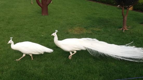 White peafowls
