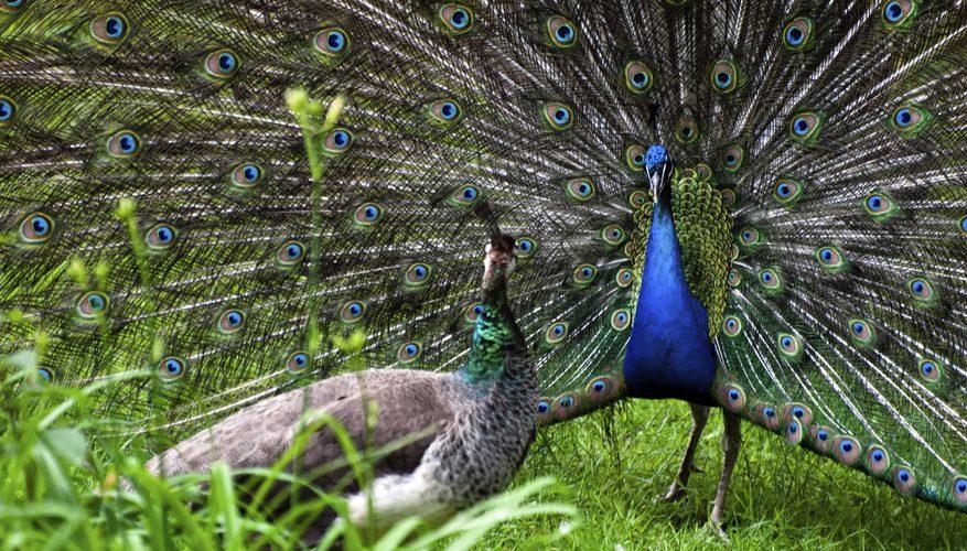 Peacock mating rituals
