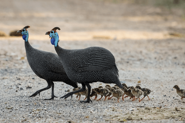 Guinea fowl and their keets
