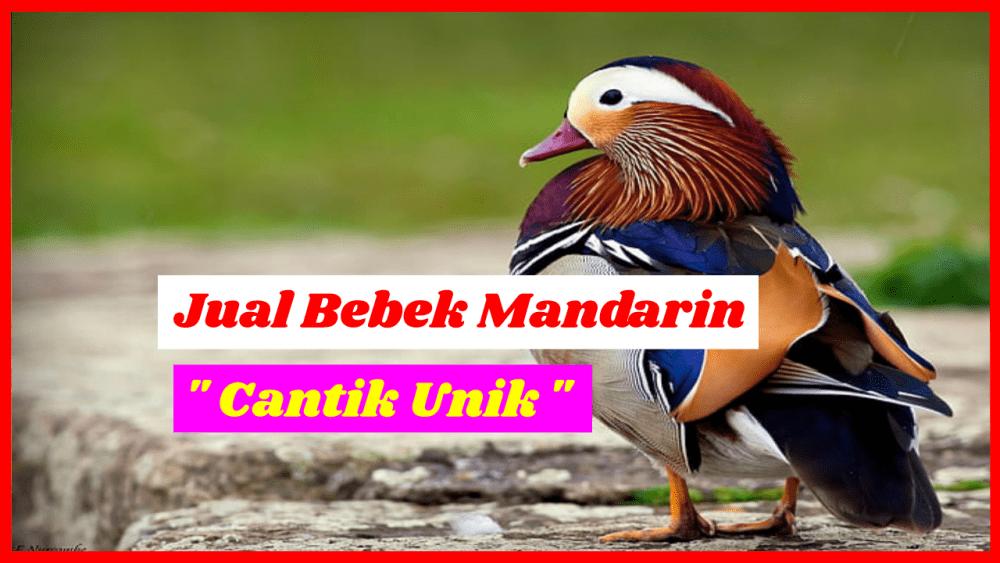 Jual bebek mandarin Jual Bebek Mandarin Jual Ayam Hias HP : 08564 77 23 888 | BERKUALITAS DAN TERPERCAYA Jual Bebek Mandarin Jual Bebek Mandarin Dewasa Siap Kirim ke Seluruh Indonesia