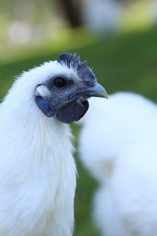 Kapas 2 Mengenal Ayam Kapas Jual Ayam Hias HP : 08564 77 23 888 | BERKUALITAS DAN TERPERCAYA Mengenal Ayam Kapas Mari Mengenal Ayam Kapas yang Unik dan Lucu