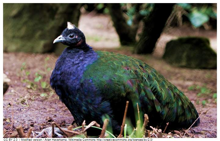Male congo peafowl, seen from his body size he is bigger and the color of his coat is predominantly dark blue and has a crown. | Male congo peafowl