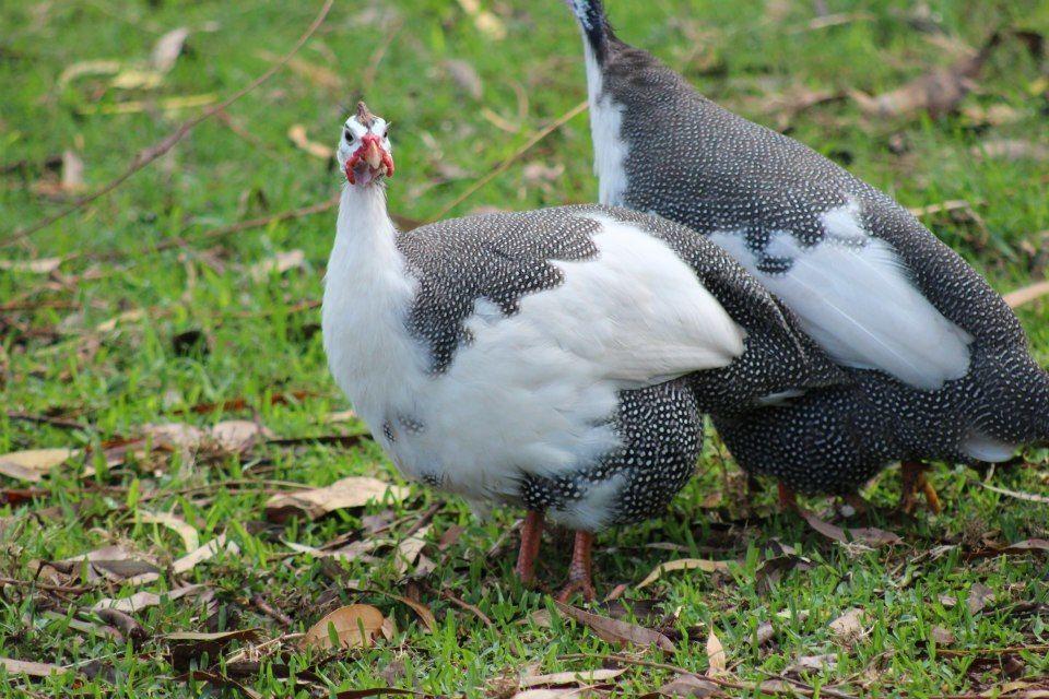 Pied guinea fowl