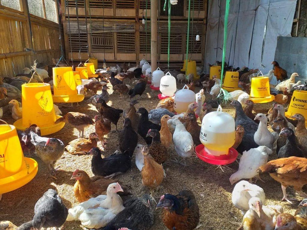 Salah satu cara agar ayam tidak mudah terserang penyakit berak hijau adalah dengan menjaga kebersihan kandang dan kualitas pakan yang diberikan