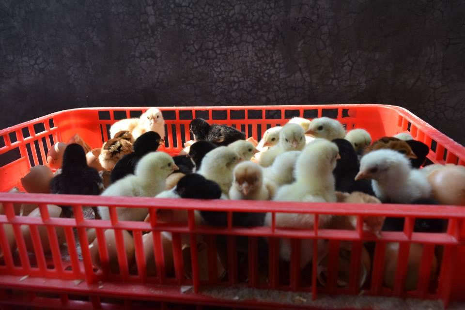 DOC atau Bibit Ayam kampung super Joper baru saja menentas sedang dalam proses seleksi untuk segera di masukan ke box pengiriman