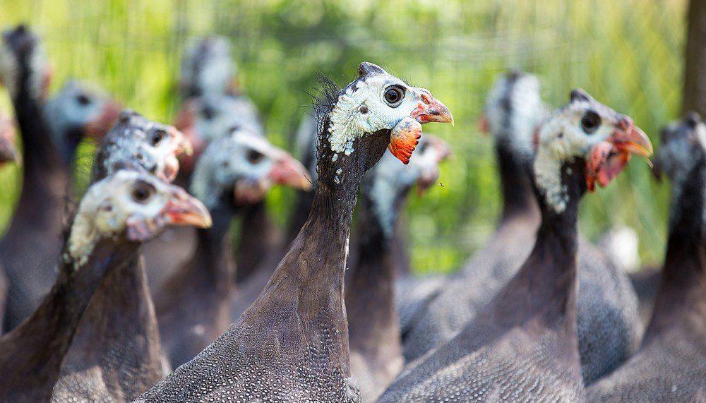 Guinea fowl breeding