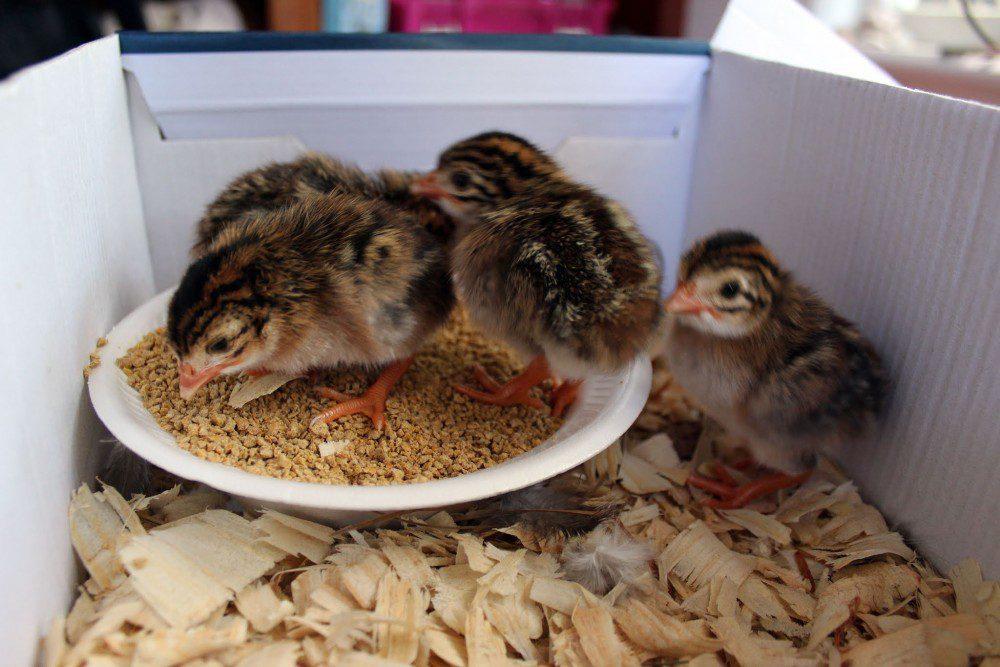 Guinea fowl keets feeds