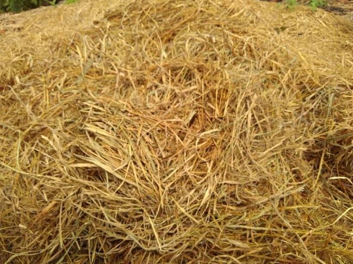 Jerami juga cukup sering di gunakan oleh para peternak untuk litter karena mudah di dapatkan terkhusus di pedesaan