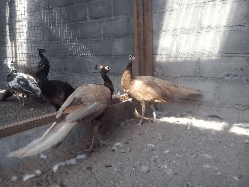 Merak Cameo 1 jual burung merak Jual Ayam Hias HP : 08564 77 23 888 | BERKUALITAS DAN TERPERCAYA jual burung merak Jual Burung Merak yang Siap di Ternakan