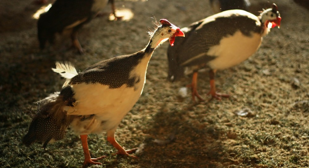 Pied Guinea Fowl is one of the unique guinea fowl colors because they have 2 combination colors that make them so pretty.