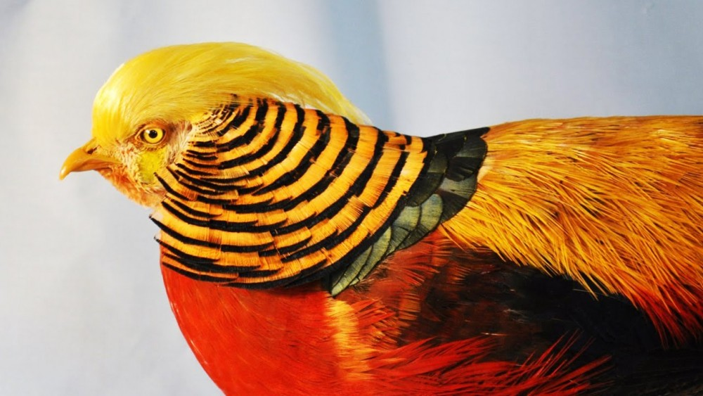 Beautiful golden pheasant i.ytimg.com