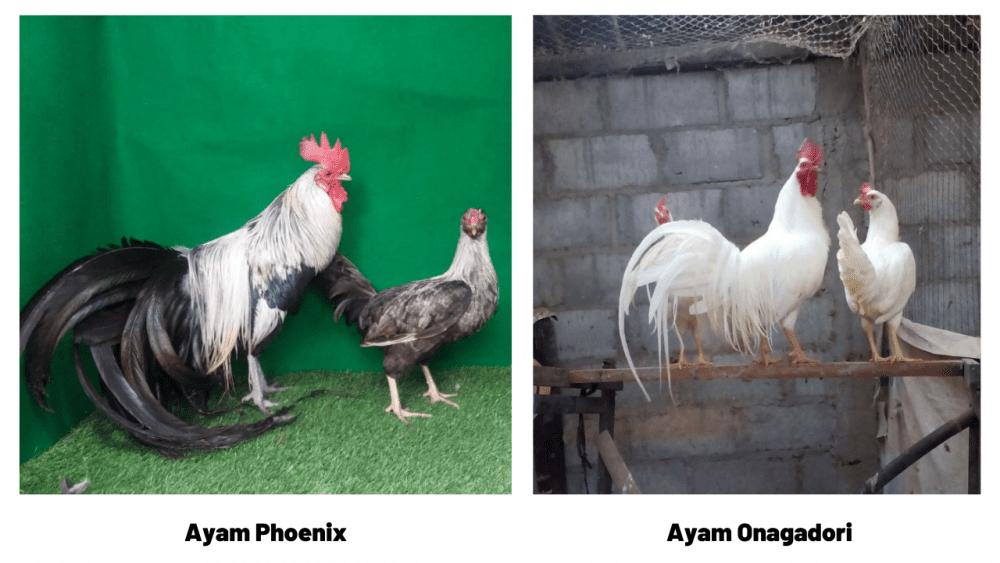 Perbedaan kedua ayam ini memang tidak begitu berbeda dan bisa diamati pada bentuk ekornya | Beda Phoenix & Onagadori