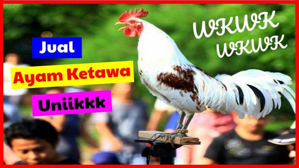 cropped jual ayam ketawa unik 10 agustus 2019 jual ayam ketawa Jual Ayam Hias HP : 08564 77 23 888 | BERKUALITAS DAN TERPERCAYA jual ayam ketawa Ayam Bisa Tertawa? Mitos atau Fakta?