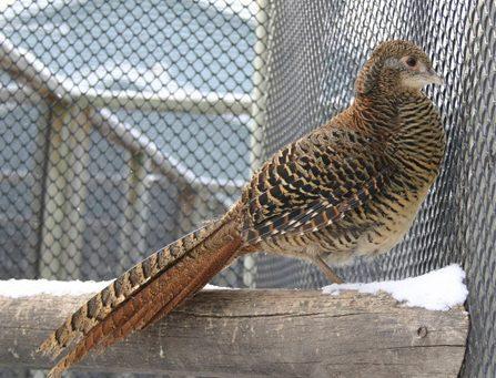 female red golden pheasant c1.staticflickr.com