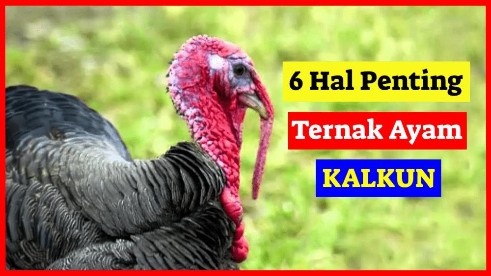 6 Hal Penting Ternak Ayam Kalkun