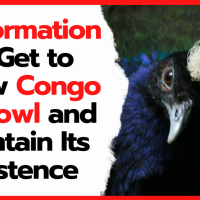 7 Information to Get to Know Congo Peafowl and Maintain Its Existence