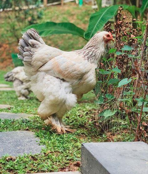 Dengan warna yang cantik ayam raksasa atau ayam brahma ini terlihat gagah dan elegan
