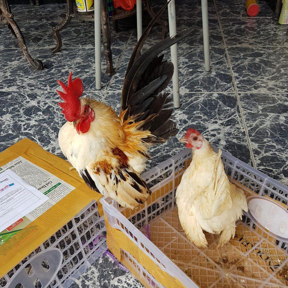 Sepasang ayam serama mendarat dengan selamat ke rumah pelanggan kami jualayamhias.com
