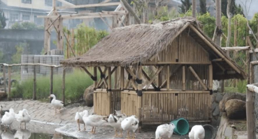 Tempat berteduh Angsa ternak angsa Jual Ayam Hias HP : 08564 77 23 888   BERKUALITAS DAN TERPERCAYA ternak angsa 10 Point Penting Cara Mudah Beternak Angsa Putih