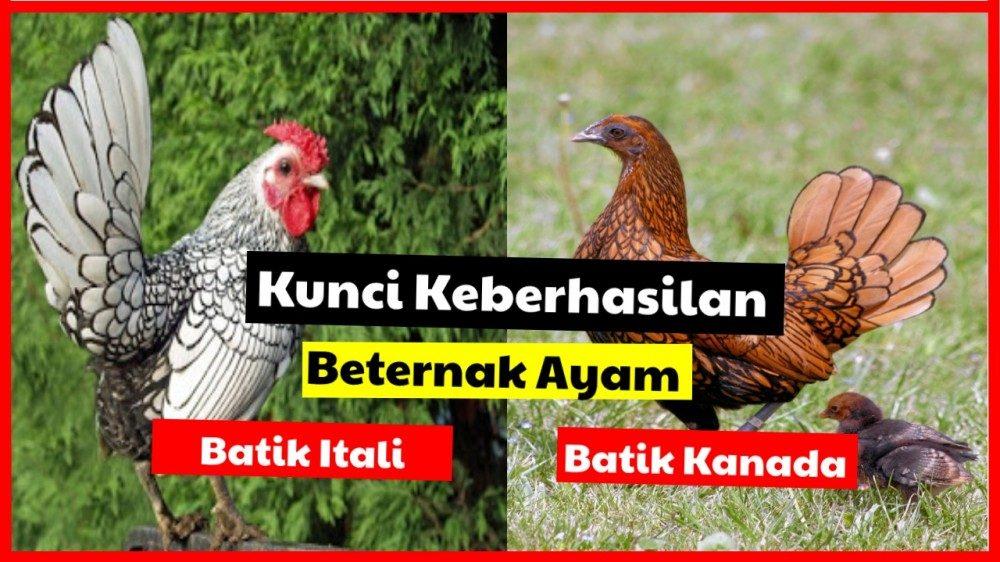 cropped kunci keberhasilan ayam batik itali dan kanada 1 Kunci Keberhasilan Beternak Ayam Batik Jual Ayam Hias HP : 08564 77 23 888 | BERKUALITAS DAN TERPERCAYA Kunci Keberhasilan Beternak Ayam Batik Kunci Keberhasilan Beternak Ayam Batik Kanada dan Itali
