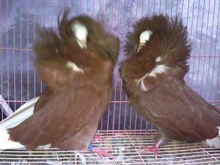 Burung Merpati Jacobin Coklat bulunya sampai menutupi bagian kepala