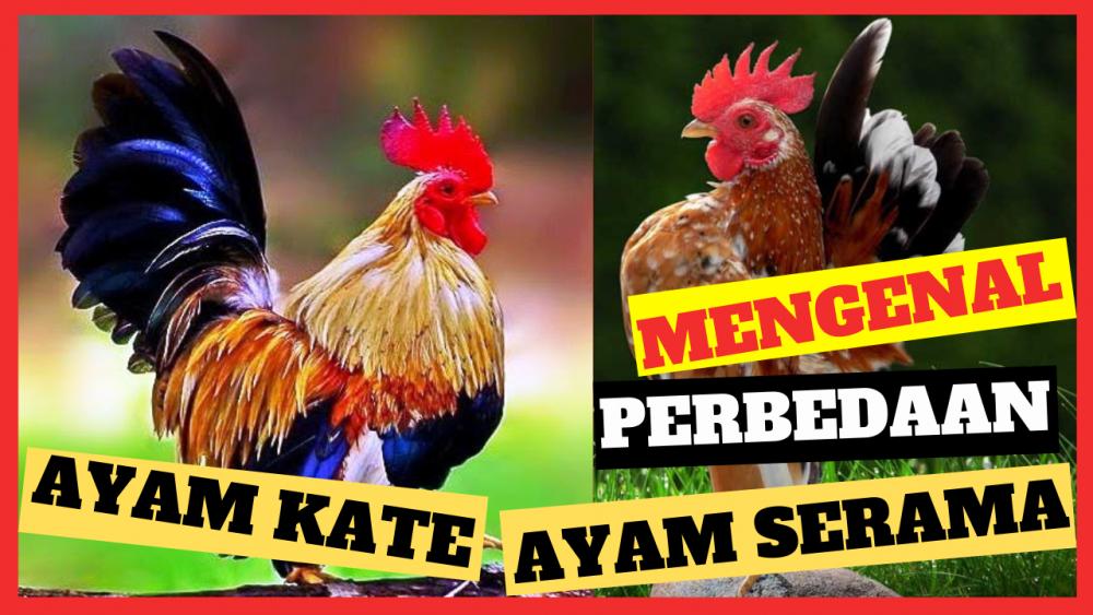 Bagaimana membedakan Ayam Kate dengan Ayam Serama ?