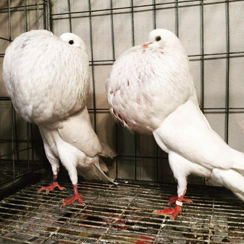 1020+  Gambar Burung Merpati Dan Penjelasannya  Terbaru Free