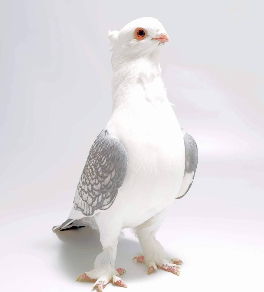 Unduh 77+  Gambar Burung Merpati Unik HD