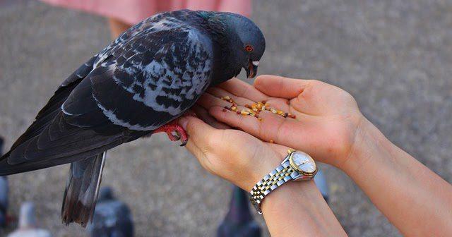 Pakan yang baik untuk burung merpati