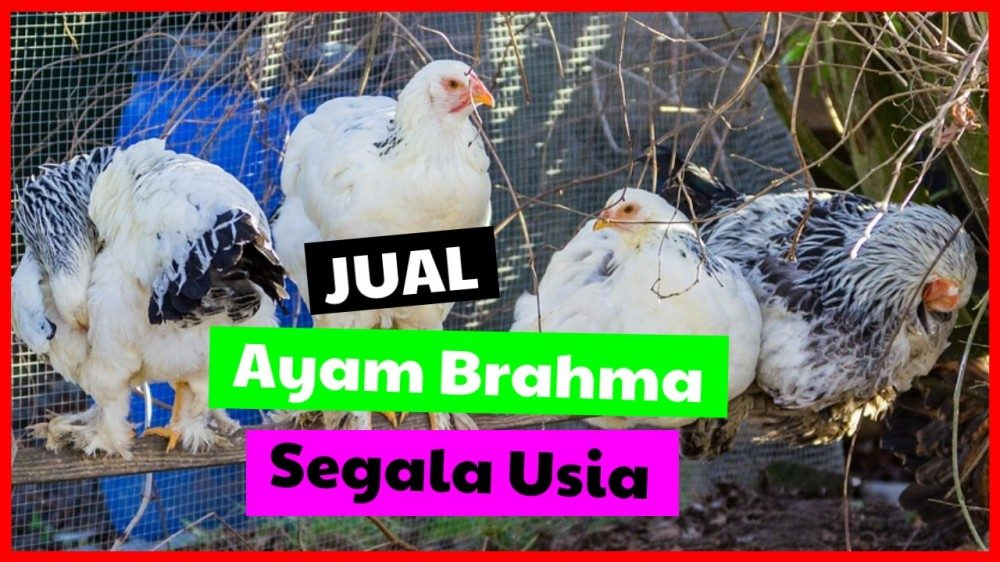 cropped jual ayam brahma segala usia Jual Ayam Brahma Jual Ayam Hias HP : 08564 77 23 888 | BERKUALITAS DAN TERPERCAYA Jual Ayam Brahma Jual Ayam Brahma Berbagai Usia Siap di Ternakan