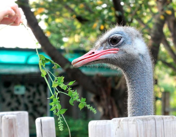 Di daerah asalnya burung unta memakan dedaunan yang ada di sekitar, kalau di Indonesia bisa di berikan dedak atau rumput dan juga bisa sayur-sayuran | Burung unta makan