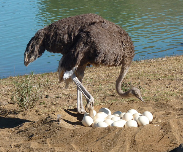 Keunikan dari telur burung unta yaitu memiliki cangkang yang kuat | Telur burung unta