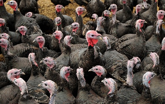 Ayam Kalkun saat ini banyak diternakkan untuk hiasan maupun sebagai penghasil daging