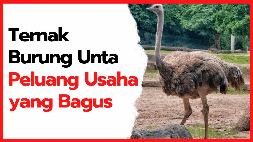 Wow Ternyata Peluang Usaha Ternak Burung Unta Masih Terbuka Lebar