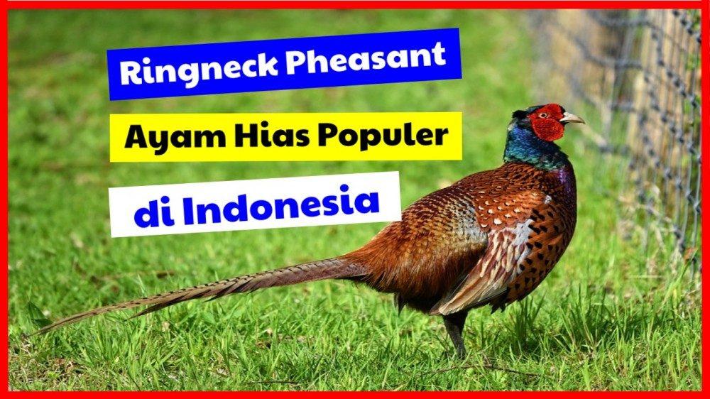 cropped Ringneck Pheasant Ayam Hias Populer di Indonesia ringneck pheasant Jual Ayam Hias HP : 08564 77 23 888 | BERKUALITAS DAN TERPERCAYA ringneck pheasant Ringneck Pheasant Jenis Ayam Hias Terpopuler Di Indonesia
