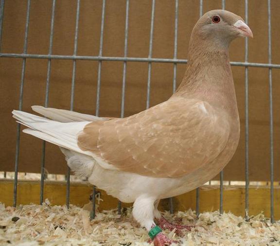 Dutch beauty homer pigeon berasal dari Belanda dan dahulu saat perang dunia ke-2 di kenal sebagai merpati pos