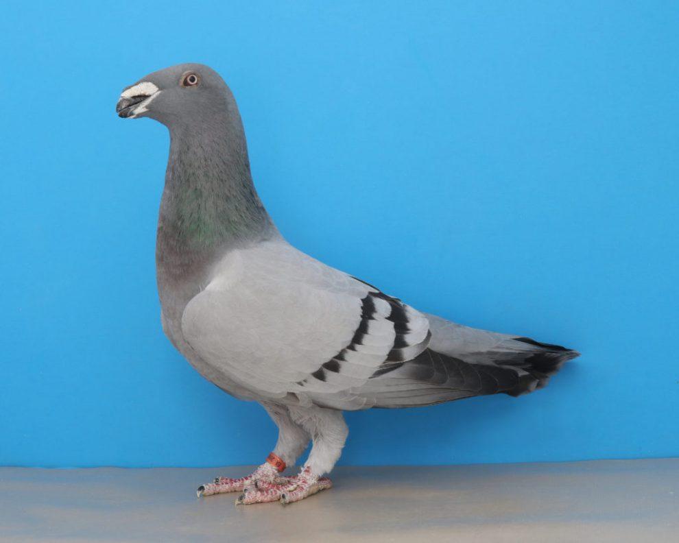 Exhibition Homer Pigeon memiliki pial hidung yang mendekati ujung paruh depan
