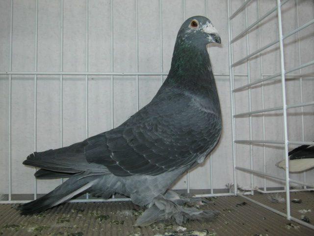 Hungarian giant homer pigeon memiliki cirikhas bulu lebat pada bagian kakinya