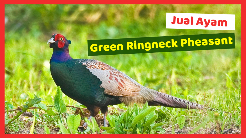 Kandang Ternak JOPER 5 jual green ringneck pheasant Jual Ayam Hias HP : 08564 77 23 888 | BERKUALITAS DAN TERPERCAYA jual green ringneck pheasant Jual Green Ringneck Pheasant Dengan Berbagai Keistimewaannya